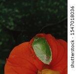 green stink bug  chinavia...