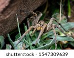 Wolf Spider With Baby Spiders...