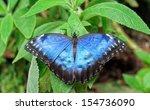Resting Butterfly. Morpho...