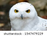 Snowy Owl Close Up With Colore...