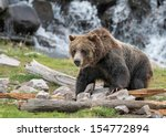 grizzly bear in yellowstone... | Shutterstock . vector #154772894