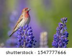 A Beautiful House Finch Bird...