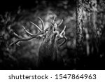 The Call  Red Deer In Rutting...