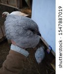 Small photo of A young lavender orpington pullet is held in the air.