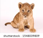 Photoshoot Of A Little Lion....