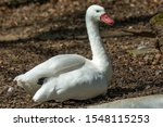 A White Goose With A Pout