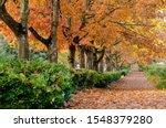 Oak alley in fall season in Redmond suburb, Washington