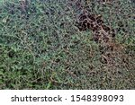 Boxwood Plant Texture In The...