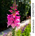 Dainty Tall  Flower Spikes Of...