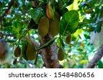 Jack Fruit In Garden Koh Phangan