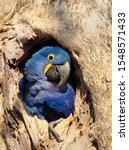 Close Up Of A Hyacinth Macaw...