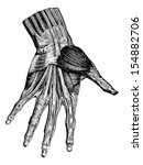 Muscles Of The Hand ...