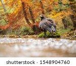 Golden Eagle  Aquila Chrysaetos ...