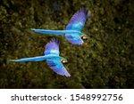 Macaw Parrot In Flight. Big...