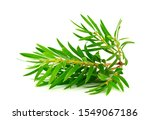 Melaleuca  Tea Tree  Isolated...