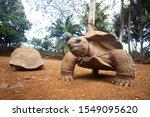 Stock photo aldabra giant tortoise aldabrachelys gigantem mauritius island 1549095620