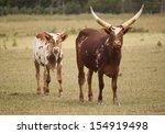 Cattle Ankole Watusi