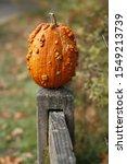 Warty  Bumpy Pumpkin Sitting O...
