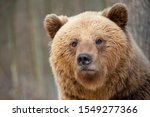 The Brown Bear  Ursus Arctos  ...