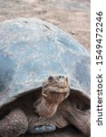 Stock photo cerro azul subspecies of the protected galapagos giant tortoise in captivity at the giant 1549472246