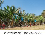 Banana Trees Or Plants In A...