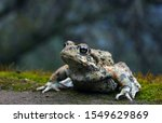 Portrait of a western toad (Anaxyrus boreas) sitting on a mossy rock with trees and sky in the background.
