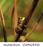A small, young gray treefrog looks at the camera as it clings to a brown plant stem.  Its toe pads are visible grasping the stem.
