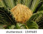 Female Sago Palm Blooming