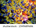 Golden Euphyllia Lps Coral   ...