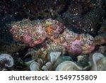 A Flasher Scorpionfish ...