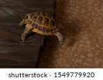 Stock photo central asian tortoise or steppe tortoise descends from a wooden burned shield to the floor 1549779920