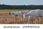 White Goats Eat Grass At Sunse...