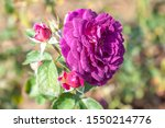 Small photo of Ebb Tide rose flower in the field. Scientific name: Rosa 'Ebb Tide'. Flower bloom Color: Mauve, fading to deep purple.