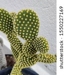 Small photo of The most sublime simplicity of a small cactus