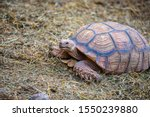 Stock photo sulcata tortoises are big tortoises size adult length of to inches weighing to 1550239880
