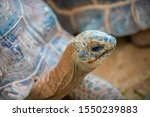 Stock photo sulcata tortoises are big tortoises size adult length of to inches weighing to 1550239883