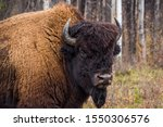 Wood Buffalo National Park Bison