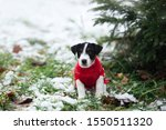 Stock photo cute little puppy jack russell terrier sits outside in winter under a christmas tree in a beautiful 1550511320