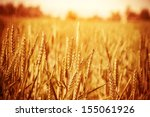 Golden Ripe Wheat Field  Sunny...