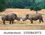 Two Rhino Fight Over Territory