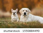 Small photo of Beautiful adult fawn labrador and fawn puppy french bulldog on green grass