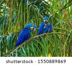 Two Hyacinth Macaws Are Sittin...