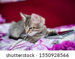 Stock photo the striped kitten lies on a pink blanket the kitten put a paw on the smartphone phone sad kitten 1550928566