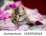 Stock photo the striped kitten lies on a pink blanket the kitten put a paw on the smartphone phone sad kitten 1550928569