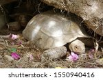 Stock photo close up african spurred tortoise resting in the garden slow life africa spurred tortoise 1550940416