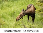 Young Moose In Rocky Mountain...