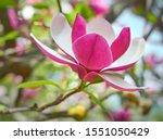 Magnolia Flower Bloom On...