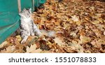 Stock photo cute gray fluffy kitten sits on yellow autumn fallen leaves leaning against a tent the kitten 1551078833