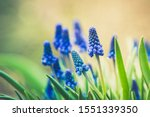 Muscari Armeniacum  Blue Grape...