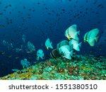 School Of Elephant Bat Fish In...